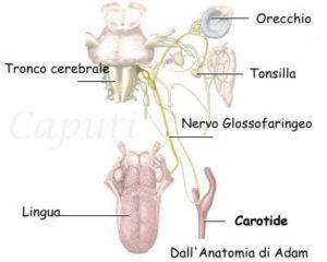 Il nervo glossofaringeo